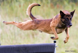 Flying-Malinois300 img