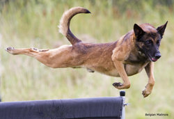 FlyingMalinois250 img